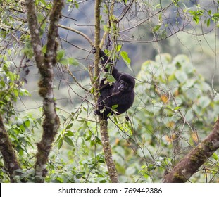 Close Up of a Baby Mountain Gorilla hanging from a tree in Bwindi Impenetrable Forest National Park in Uganda