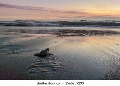 Close up of a baby sea turtle making its way to ocean at sunset on a dark sand volcanic beach. Conservation and preservation of endangered marine species concept. Selective focus, space for copy.