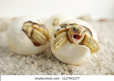 Close up Baby Tortoise Hatching (African spurred tortoise),Birth of new life, Cute baby Animal ,slow life ,Cute tortoise, Geochelone sulcata