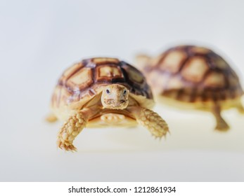 Close up Baby Tortoise Hatching (African spurred tortoise)