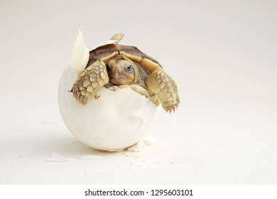 Close up Baby Tortoise Hatching (African spurred tortoise),Birth of new life ,Closeup of a small newborn tortoise ,Cute portrait of baby tortoise ,Tortoise in Natural Habitat