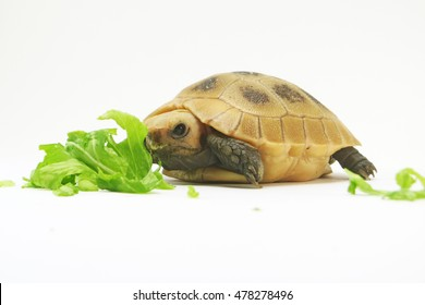 Close Up Baby Tortoise Hatching (Elongated tortoise) ,Young turtle eating fresh vegetable