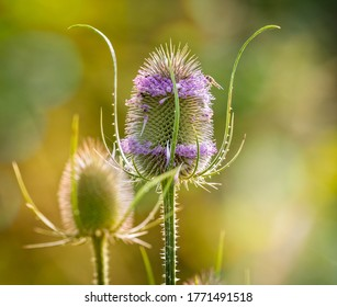 Close up of back lit Teasel with spiky flower head and purple flowers
