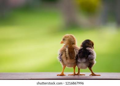 The hen house erotic authoritative message