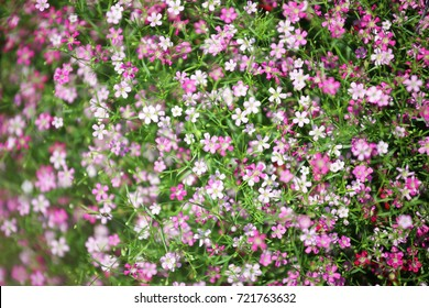 close up background of colorful blooming gypsophila flower.
