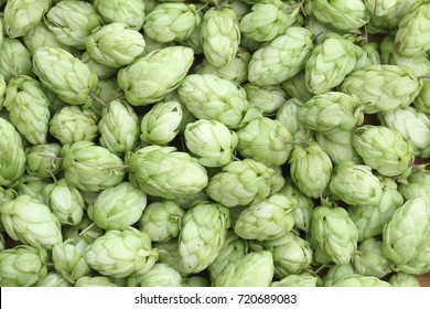Close up background of green hop cones