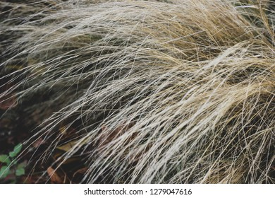 Close up background with mess of nodding beige autumn grass stems. Long standing brown and white culms. Windy stalks picture with focused twig and blurred back
