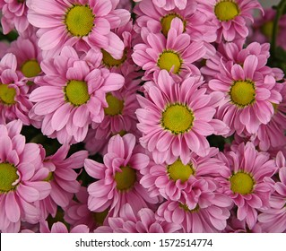 Close up background pattern of fresh pink chrysanthemum or marguerite flowers, elevated top view, directly above