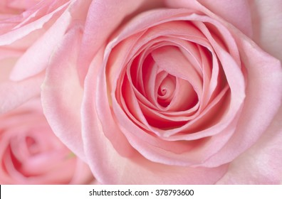 Close up background with pink roses over white wooden table.