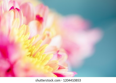 Close up background of pink and yellow chrysanthemum flower on blue background, macro