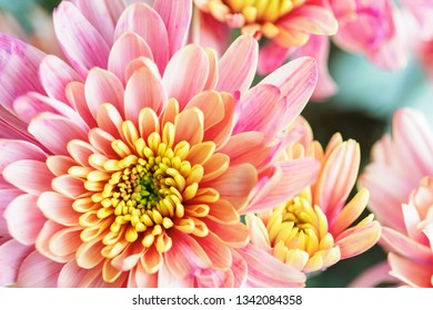 Close up background of pink and yellow chrysanthemum flower, macro