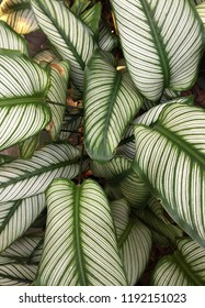 Close up background texture of Calathea ornata plant leaves in the botanic garden of Singapore