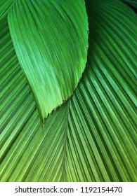 Close up background texture of two palm leaves