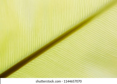 Close up backlit green color live banana tree leaf natural vein create parallel venation pattern structure background. Creative easy light texture wallpaper in backlight with empty space for desktop
