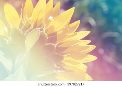Close up backside of sun flower with soft focus, fill color filter pastel gradient tone.