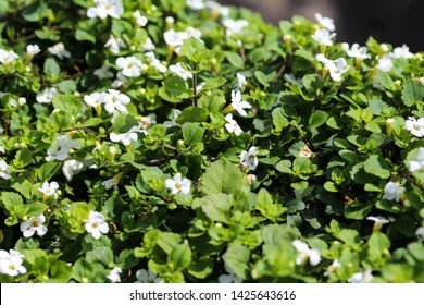 close up of Bacopa monnieri  flower, also called waterhyssop, brahmi, thyme-leafed gratiola, water hyssop, herb of grace, Indian pennywort, blooming in spring in the garden