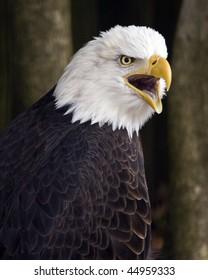 Close up of a Bald Eagle