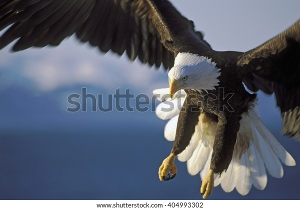 Close up of Bald Eagle in flight over water.