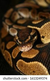 a close up of a ball python snake