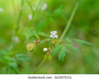Close up Balloon vine plant with blur background. (Cardiospermum halicacabum)