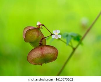 Close up Balloon vine plant with green background. (Cardiospermum halicacabum)