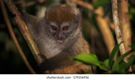 Close up of a bamboo lemur in a tree in Madagascar