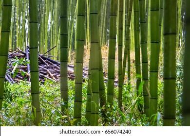 Close up bamboo shoot in bamboo forest at Sagano Arashiyama, Japan