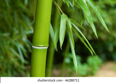 The close up of bamboo tree in forest