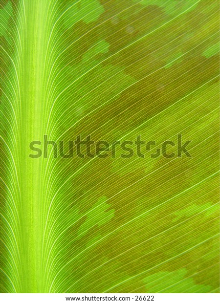 Close up of a banana leaf