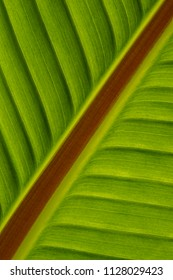 Close up of a banana leaf in back light.