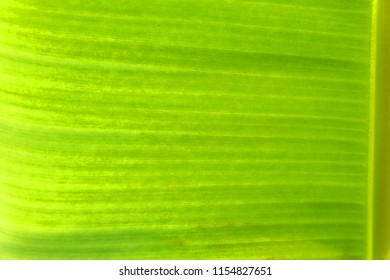 close up banana leave