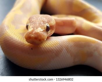 Close up of a banana pied royal python snake, piebald ball python reptile pet
