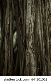 Close up Banyan Tree texture