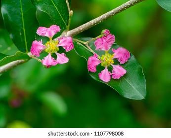 Close up Barbados or Acerola Cherry flower. (Malpighia glabra)