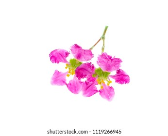 Close up Barbados or Acerola Cherry flower  (Malpighia glabra) on white background