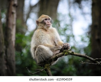 Close up of a Barbary Macaque monkey