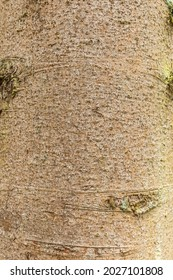 Close up of the bark of the Norway spruce, Picea abies, with smooth gray brown bark with superficial pimples and can be used as an example and as teaching material