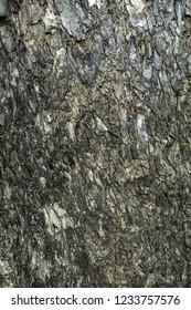 Close up bark of Rain tree or East indian walnut background. (Scientific name Samanea saman).
