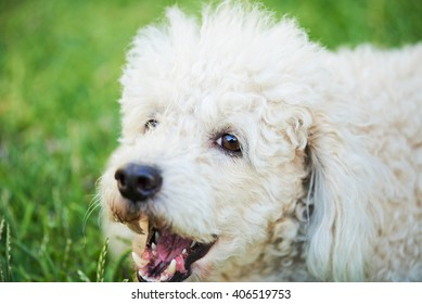 close up of barking white poodle on green grass