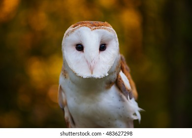 Close up of Barn Owl with Fall Color