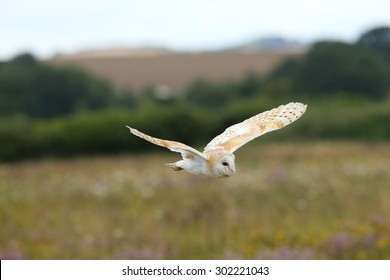 Close up of a Barn Owl flying over a wild flower meadow