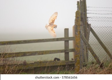 Close up of a Barn Owl flying over countryside.