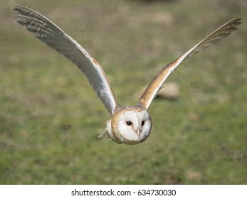 Close up of a barn owl (Tyto alba) flying in the forest