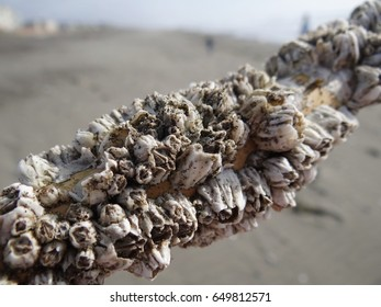 Barnacles On Driftwood Images, Stock Photos & Vectors