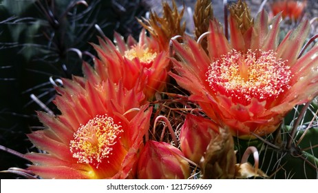 A close up of barrel cactus flower blossoms in bloom. Beautiful red, orange and yellow petals with sharp curved fishhook like thorns on this native Sonoran Desert beauty. Tucson, Arizona. Sept. 2016.