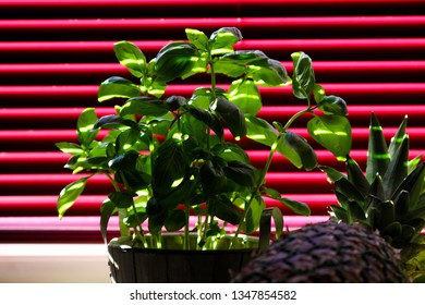 Close up of basil plant with part of an pineapple in front of red venetian blind shining from sunrays coming through the slots of the lamella
