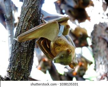 Close up of a bat hanging down from a tree in pure daylight. A young immature individual of the large flying fox (Pteropus vampyrus)