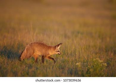 Close up Bat-eared fox, Otocyon megalotis, small african carnivore in its typical environment, arid savanna in dusk, walking along camera. African wildlife photography, self drive in Nxai Pan,Botswana