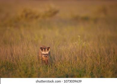 Close up Bat-eared fox, Otocyon megalotis, wild african carnivore in arid savanna in dusk, staring from grass directly at camera. African wildlife photography, self drive safari in Nxai Pan, Botswana
