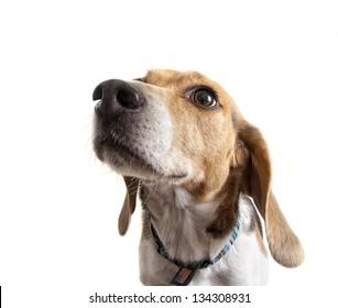 a close up of a beagle face